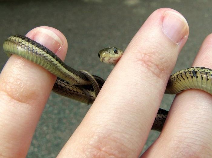 wąż na ręku
