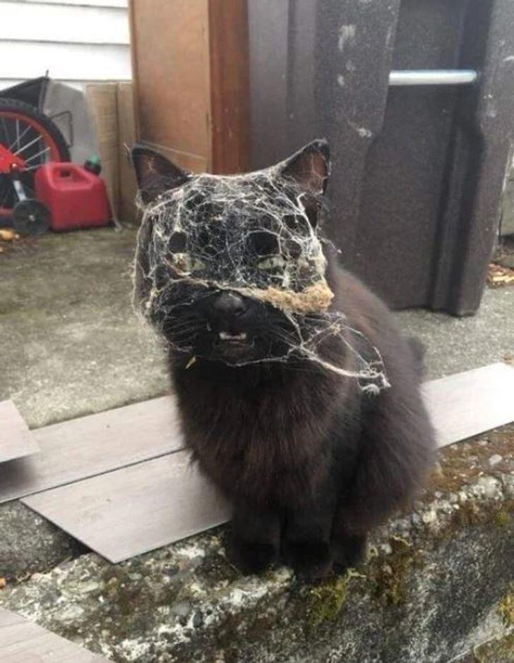 kot z pajęczyną na głowie