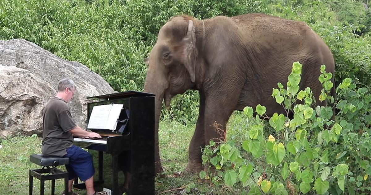 Słoń podczas koncertu