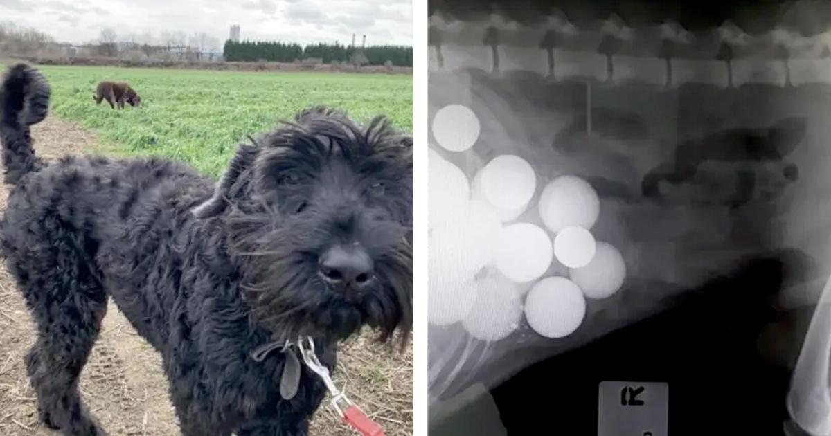 Pies wymiotował piłkami