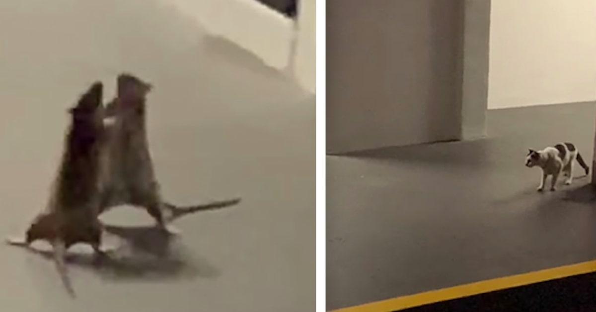 Nagrała zażartą walkę dwóch szczurów w parkingu podziemnym