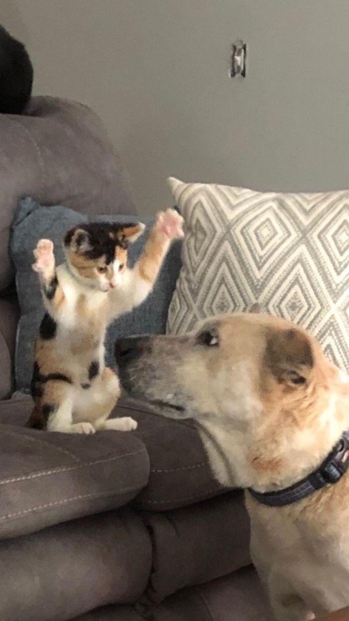 40 przekomicznych kotów, które uwielbiają dręczyć swoich psich kompanów