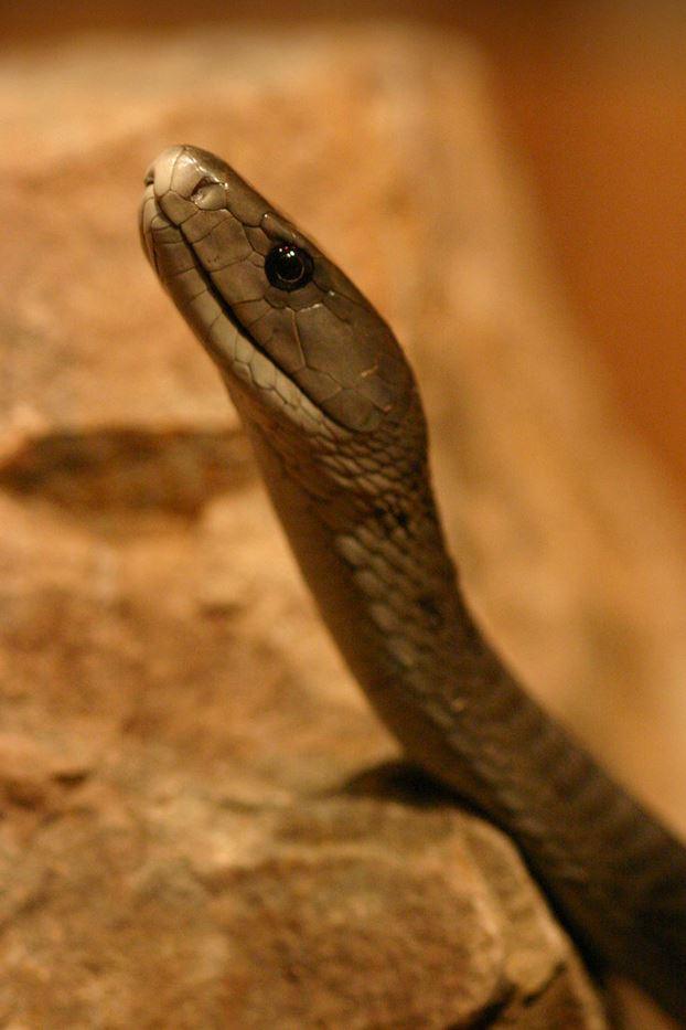 Top 6 najniebezpieczniejszych węży świata. Jeśli takiego spotkasz, lepiej uciekaj