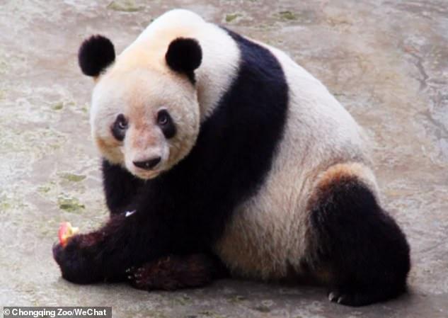 Zmarła najstarsza panda na świecie. Była mamą 36 małych pandziątek