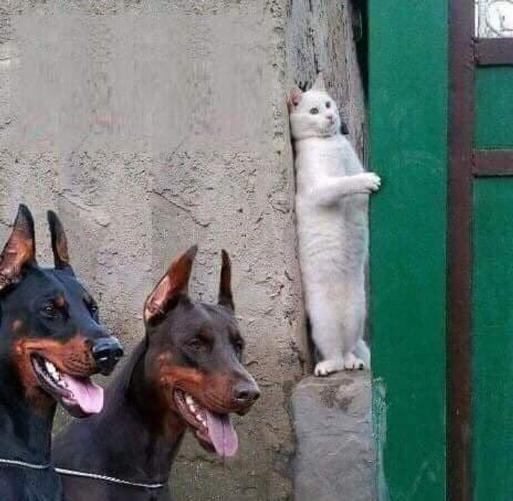20 zdjęć udowadniających, że koty to urodzeni złośliwcy