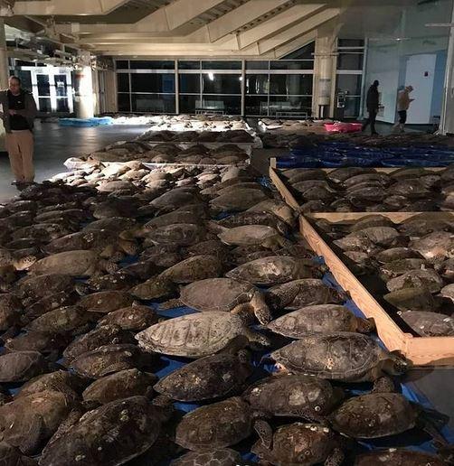 Ludzie masowo napełniają swoje samochody żółwiami, aby uratować je przed katastrofą