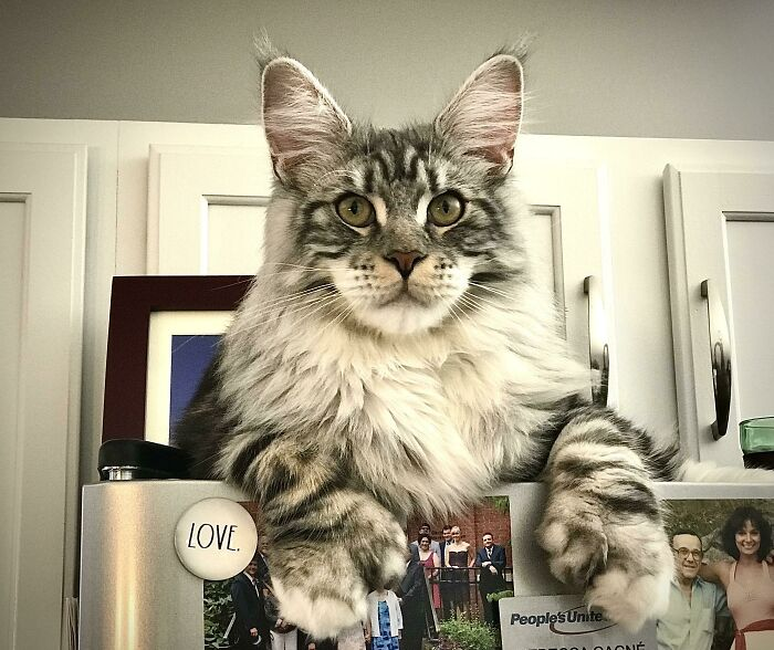 30 kotów, które nie zdają sobie sprawy, jak bardzo są ogromne