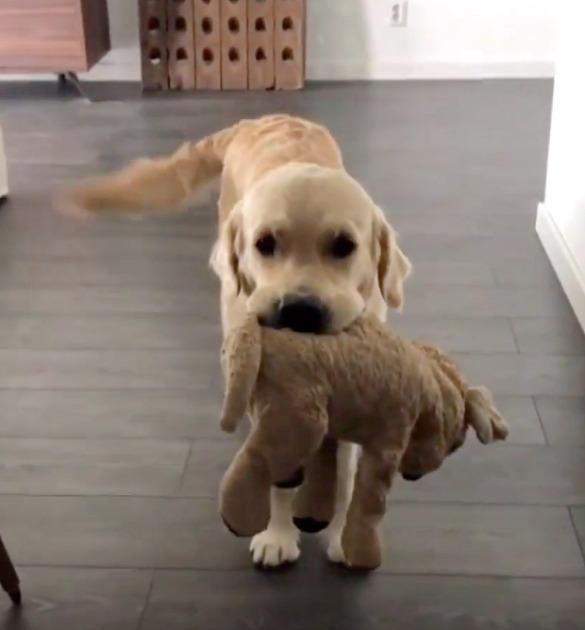 Psiak dorastał z ukochanym pluszakiem, a teraz nie chce rozstać się z nim nawet na chwilę