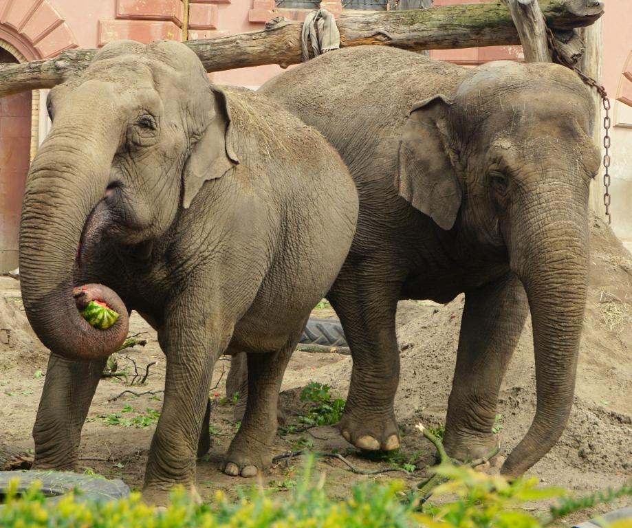 Pracownicy wrocławskiego ZOO zarejestrowali niecodziennie zachowanie słonia podczas ulewy