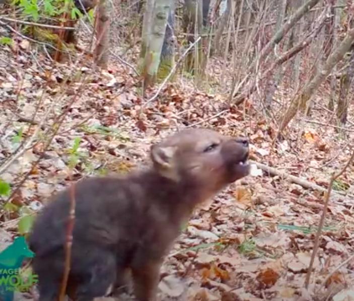 Leśna kamera zarejestrowała pierwsze wycie malutkiego wilka