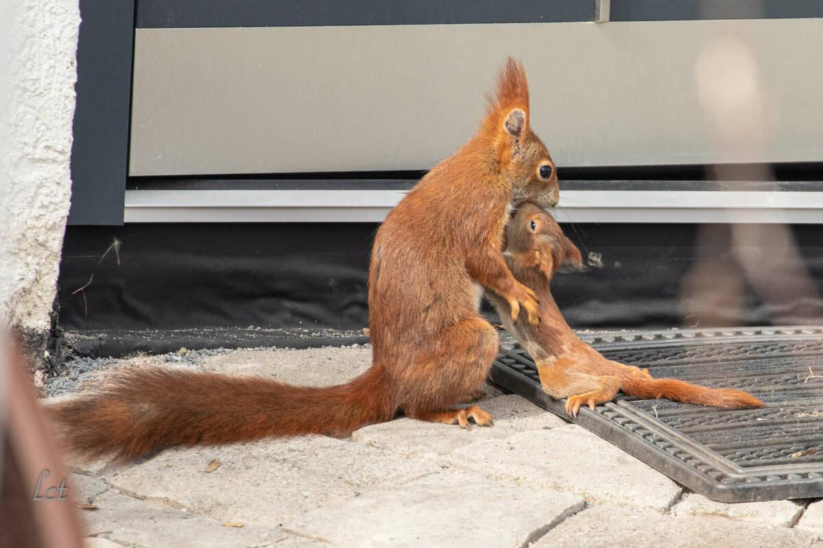 Wiewiórki zbudowały gniazdo za jego oknem, a w krótce ujrzał najsłodszą scenę kiedykolwiek