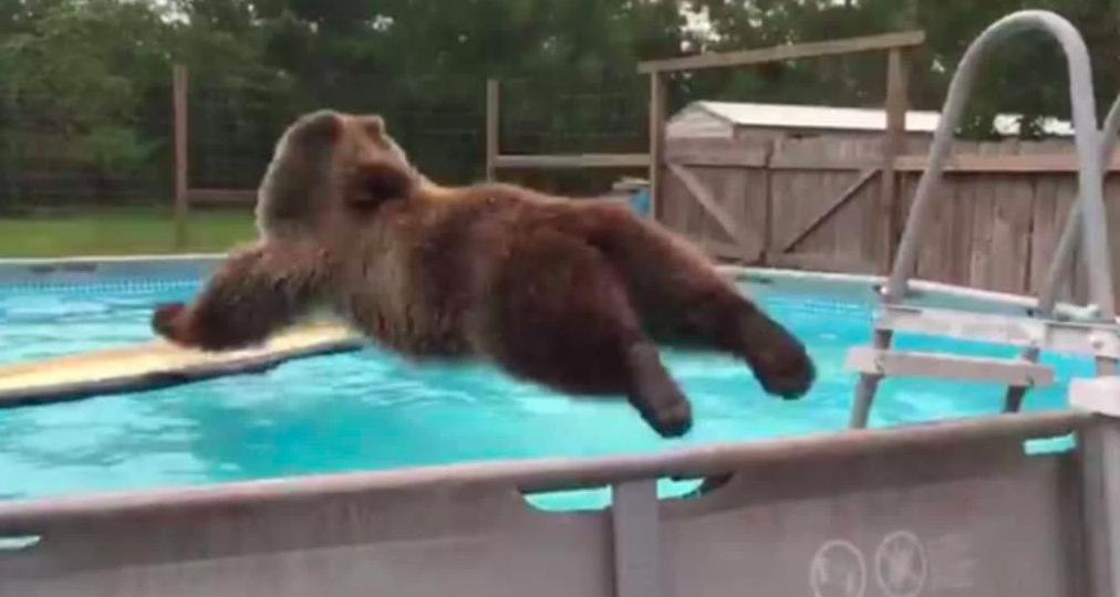 Wielki niedźwiedź wpada do basenu ogrodowego na jednej z posesji. Wideo ma ponad 25 mln odsłon