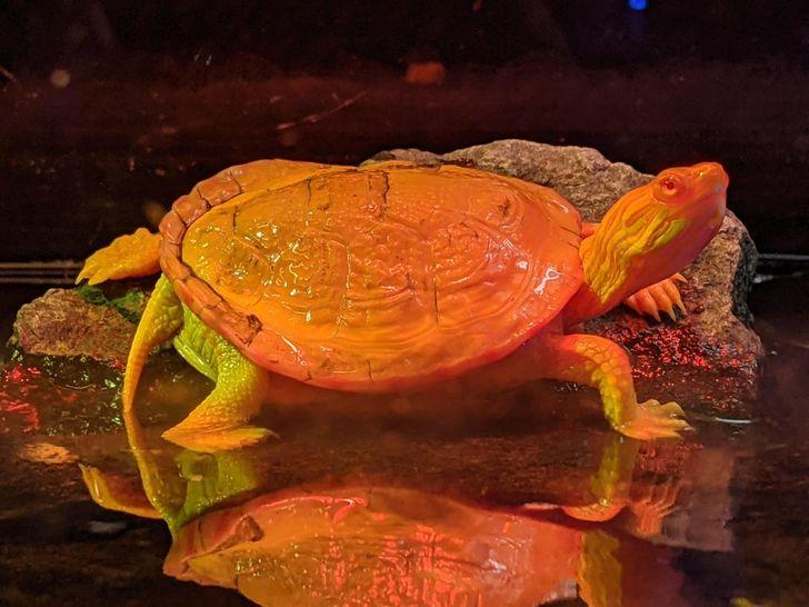 14 żółwi albinosów, które są żywym dowodem na nieskończoną kreatywność Matki Natury