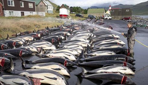 W tym roku rzeź delfinów bardziej krwawa niż kiedykolwiek. Pobito wszelkie rekordy