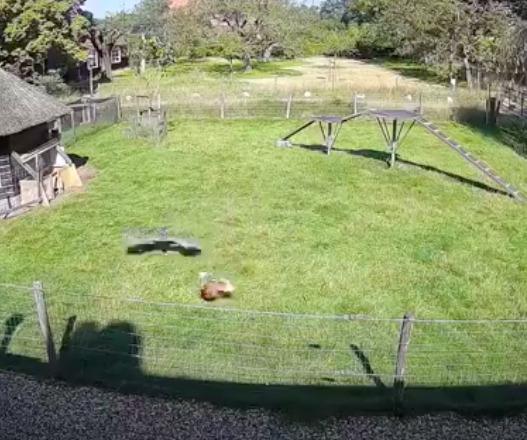 Jastrząb rzucił się na kurę. To niesamowite, jak zareagowały pozostałe zwierzęta z farmy
