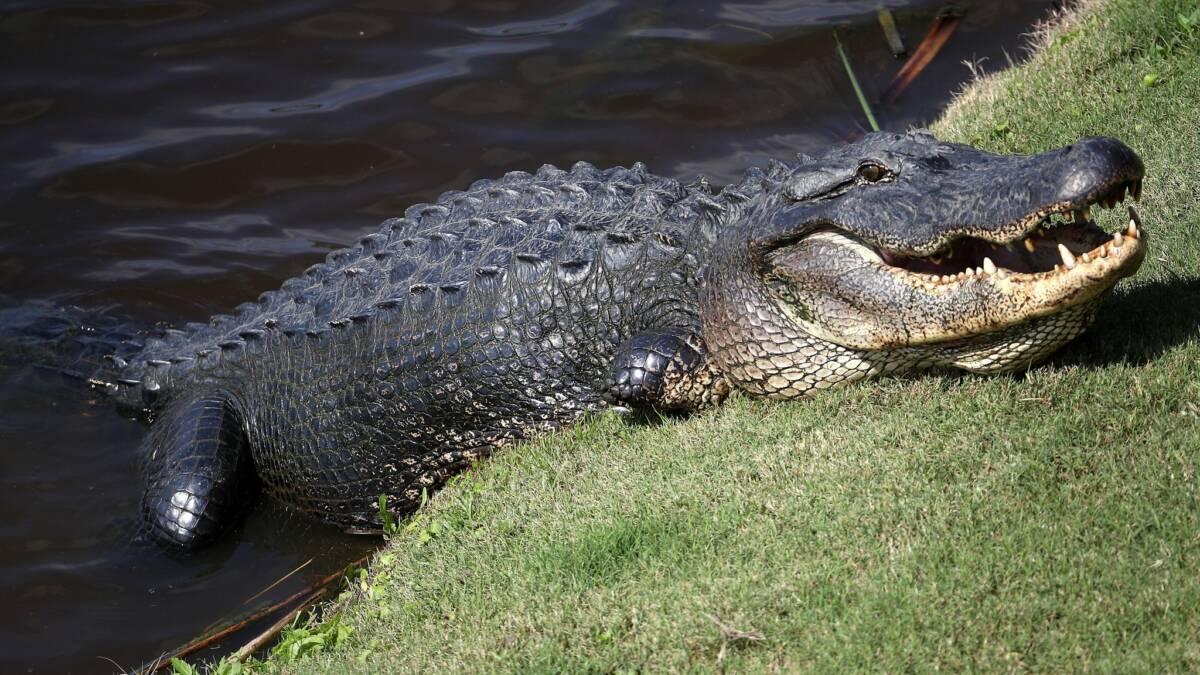 """74-letnia kobieta uratowała psa z paszczy ogromnego aligatora. """"W tamtej chwili nie myślałam"""""""