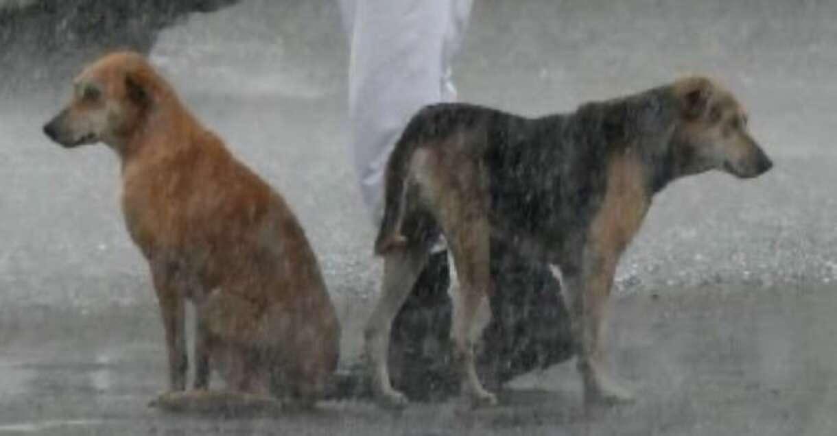 Policjant dzieli swój parasol z dwoma bezdomnymi psami podczas ulewnej burzy