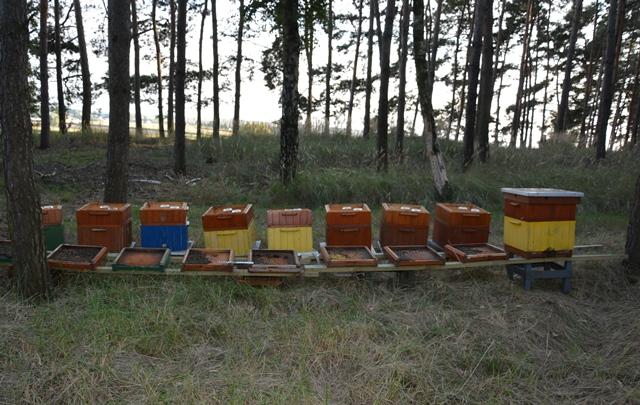Woj. wielkopolskie: Ktoś otruł i zabił blisko 420 tysięcy pszczół. Policja szuka sprawcy