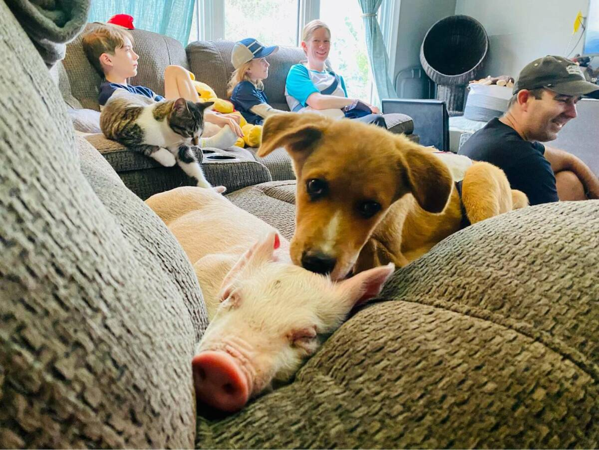 Nieprawdopodobna przyjaźń uratowanej świnki i szczeniaka specjalnej troski. Co za duet!