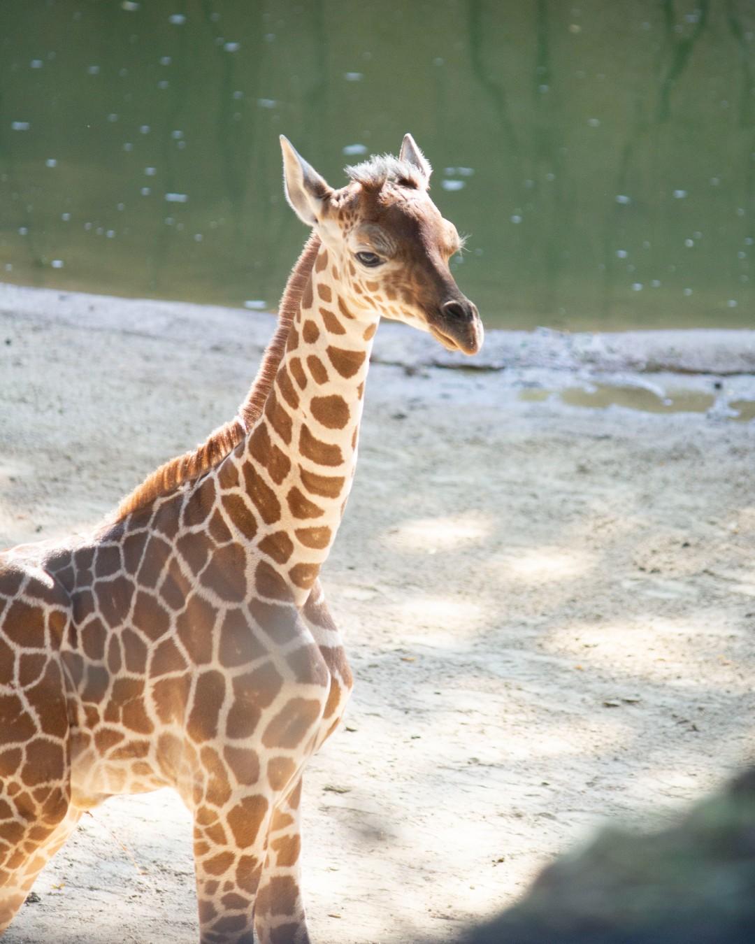 """Malutka żyrafa z ZOO uśpiona zaledwie 3 miesiące po narodzinach. """"Będzie nam jej brakować"""""""