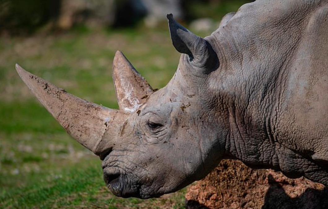 Zmarł najstarszy żyjący nosorożec biały na świecie. Odszedł w wieku 54 lat